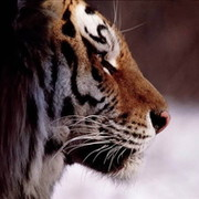 тигр полосатый on My World.